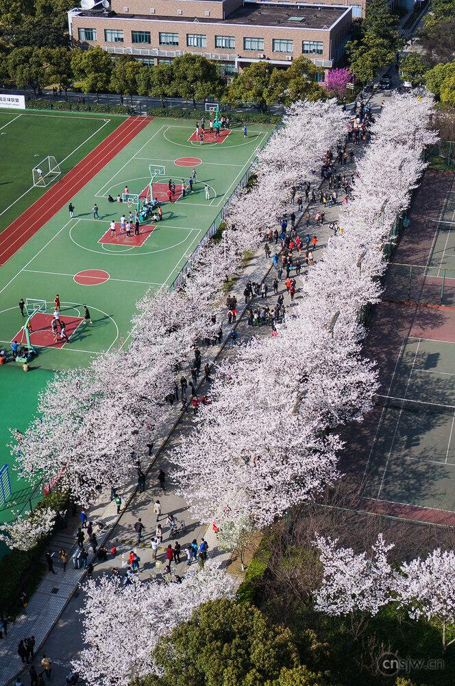 樱花大道全景